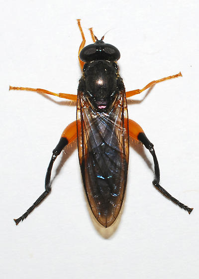 wasp mimic - Chalcosyrphus curvarius - female