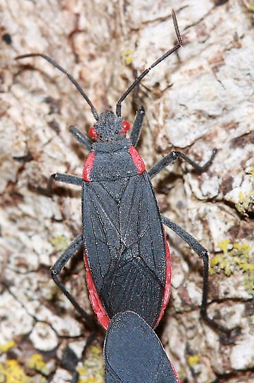 Bug - Jadera haematoloma - male - female