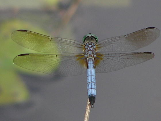 Just another Blue Dasher - Pachydiplax longipennis - male