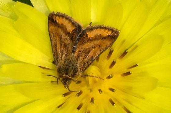 What type of moth? - Schinia mitis