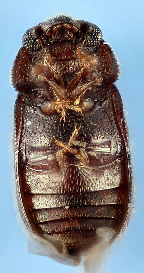 Sphididae - Sphindus americanus