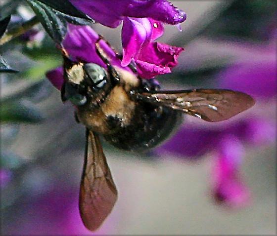 Blue eyed bee - Xylocopa tabaniformis - male