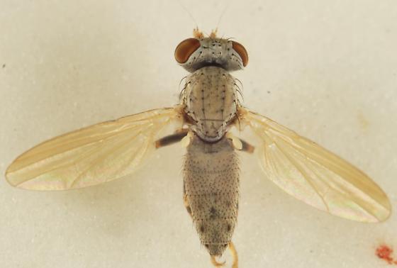 Unknown Diptera - Parochthiphila