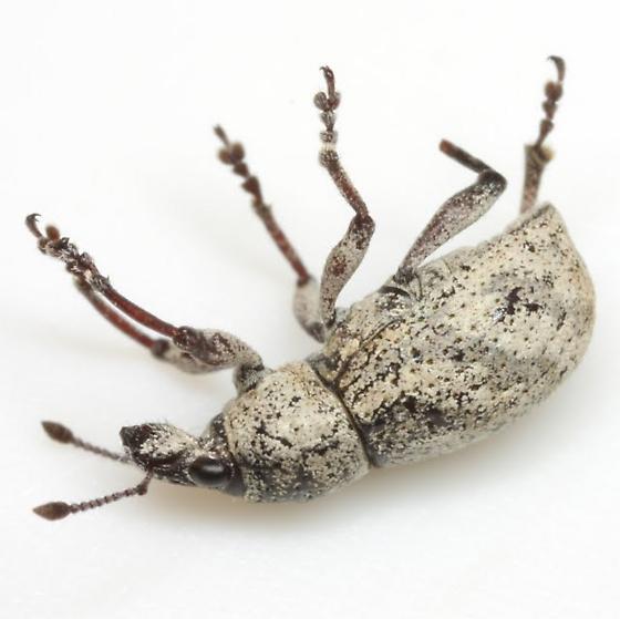 Epicaerus sp. - Epicaerus