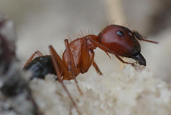 Bull Ant/Florida Harvester Ant? - Camponotus floridanus