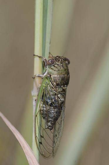 Plains Dog-day Cicada - Neotibicen auriferus