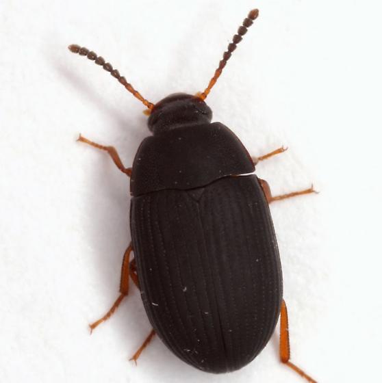 Platydema flavipes (Fabricius) - Platydema flavipes