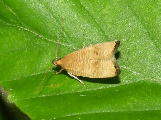 Unknown small yellow moth - Psilocorsis