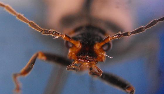 Dichelotarsus excursus