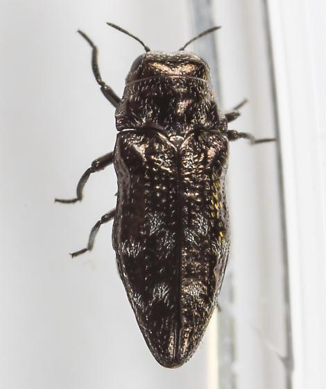 Beetle - Taphrocerus