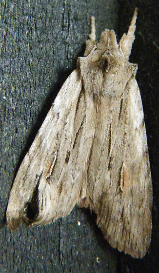 Moth - Lithophane lemmeri