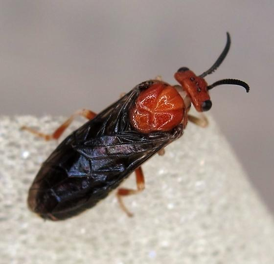 Neodiprion sp. - Neodiprion lecontei
