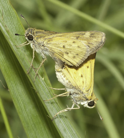 Mating skippers - Hylephila phyleus - male - female