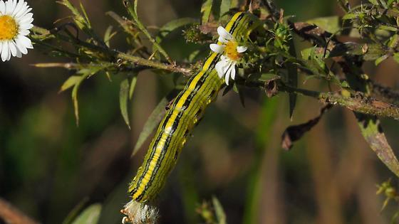Late season caterpillar - Cucullia asteroides