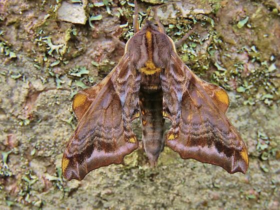 Id help needed - sphinx moth - Paonias myops