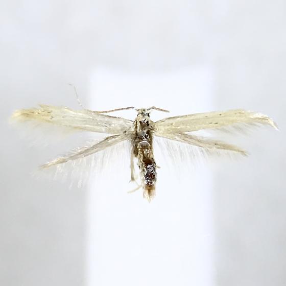Coleophora fagicorticella