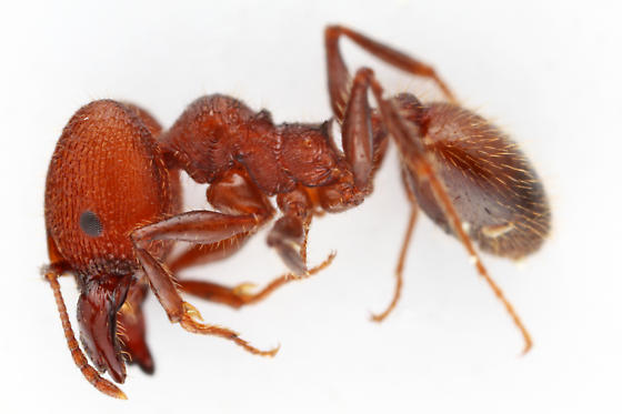 Ant - Pheidole obscurithorax