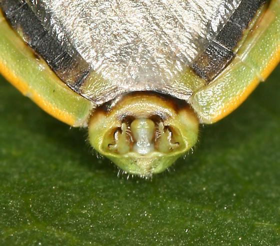 green stink bugs  - Chlorochroa rossiana - male