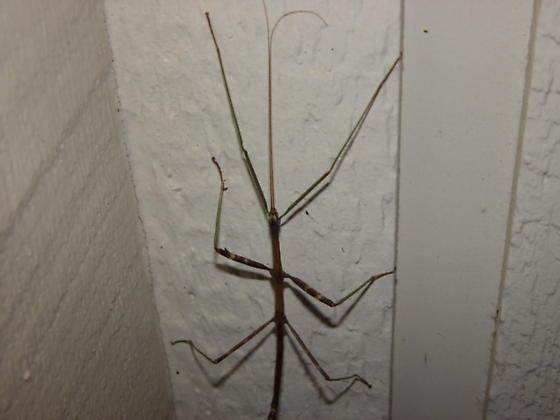 Giant Walkingstick - Diapheromera femorata - male
