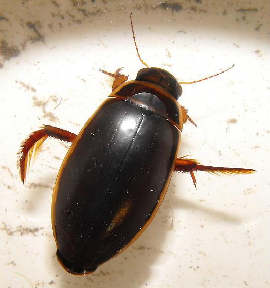 Dytiscid - Dytiscus cordieri - female