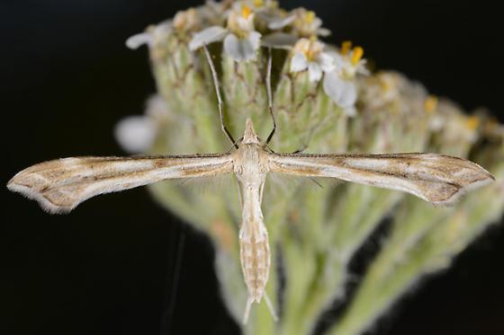 Unknown Pterophorid - Gillmeria pallidactyla