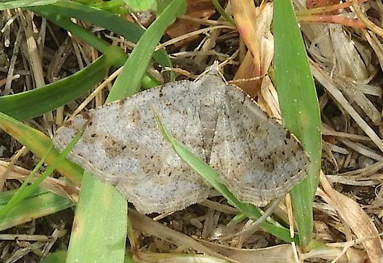 Moth in the Grass - Digrammia ocellinata