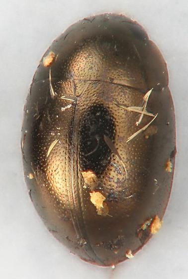 Hydrophilid #6 - Paracymus confluens