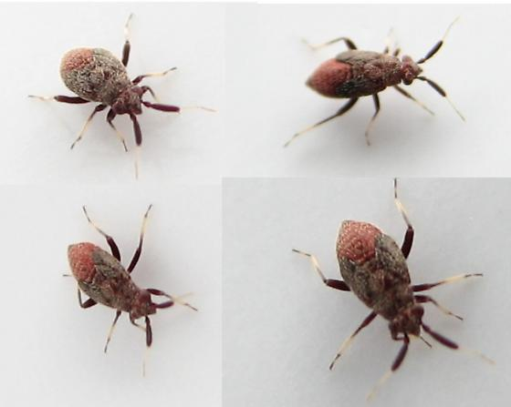 Small black and red bug