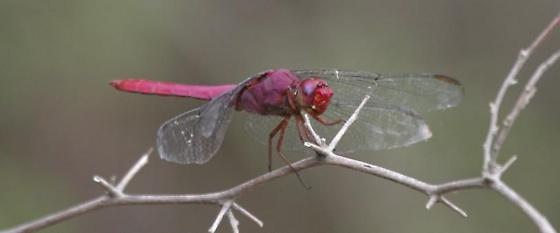 male Carmine Skimmer, stage right - Orthemis discolor - male