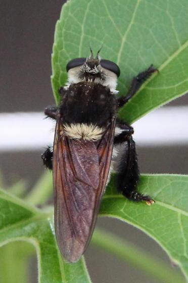 Bee Killer? - Mallophora fautrix