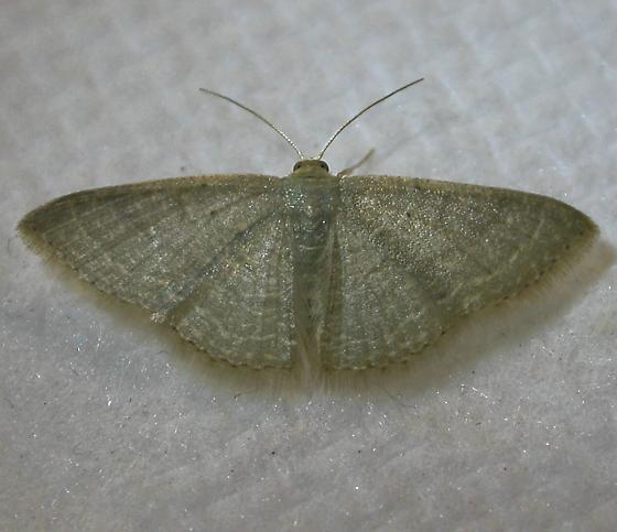 Moth - Pleuroprucha asthenaria