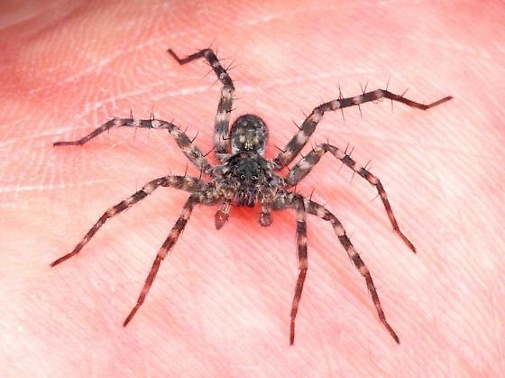 Wolf Spider - Pardosa lapidicina - male
