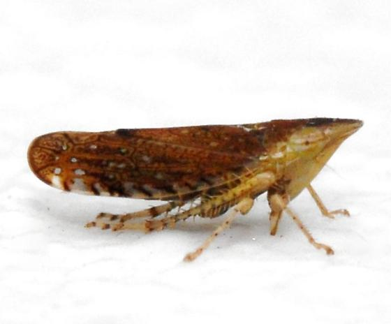 Sharp-nosed Leafhopper - Scaphytopius latus