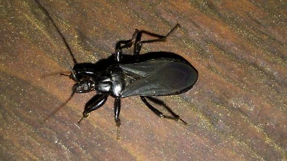 Black Corsair (Melanolestes picipes)? - Melanolestes picipes
