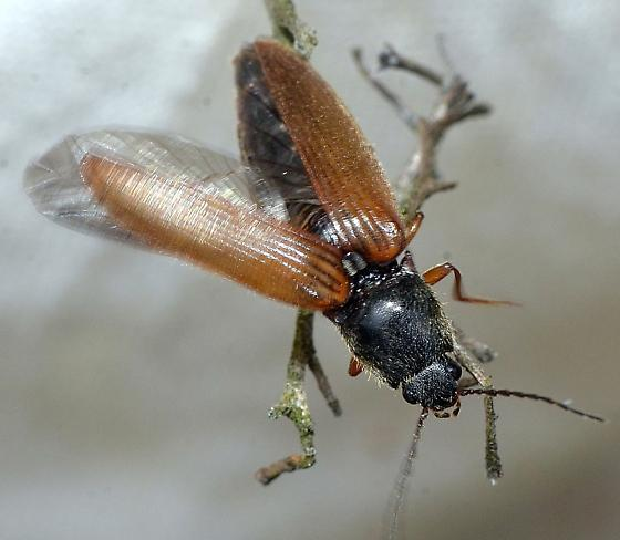 Elateridae - Hemicrepidius hemipodus
