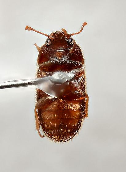 Mycetophagidae? - Typhaea stercorea