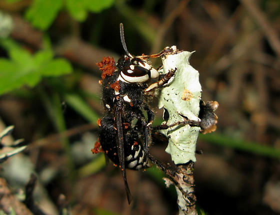 Giant Wasp - Dolichovespula maculata - female