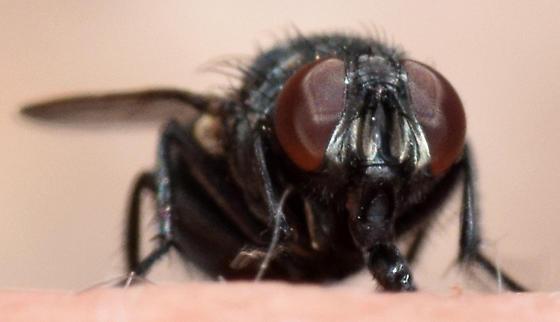 muscid fly - Eudasyphora - female