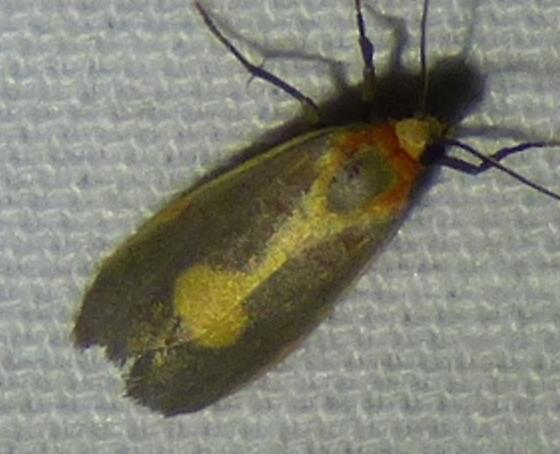 Cisthene plumbea - Lead-colored Lichen Moth - Cisthene plumbea