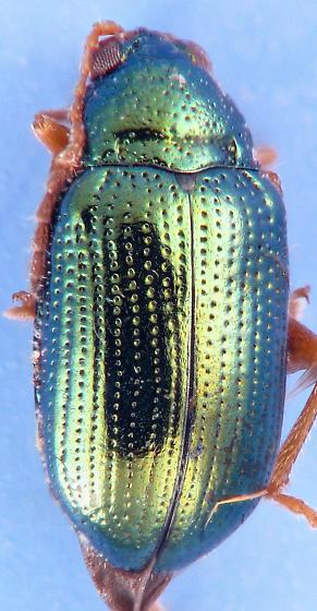 green Crepidodera  - Crepidodera browni