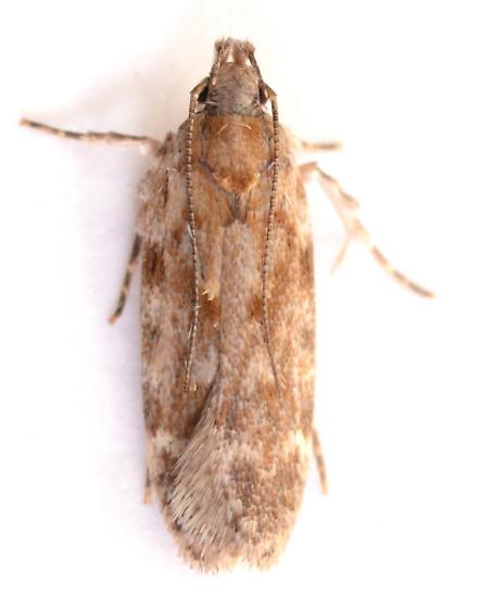 Chionodes? from Betula nigra