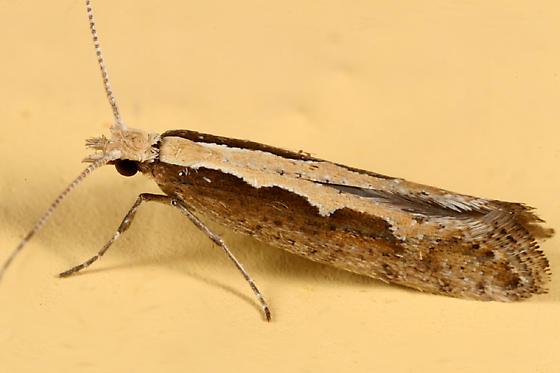 Diamondback Moth - Plutella xylostella