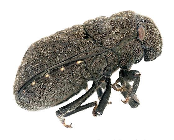 Unknown Beetle - Acantholomidea porosa