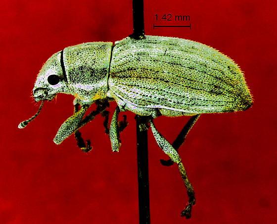 Pantomorus pallidulus  - Naupactus pallidulus