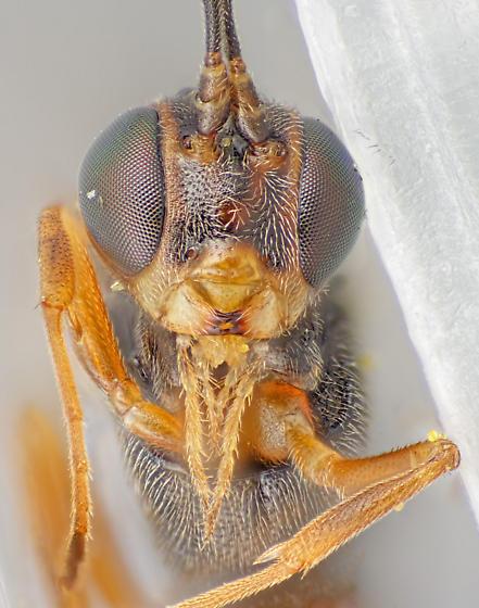 Pristomerus - female
