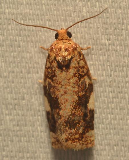 Moth ID - Archips argyrospila