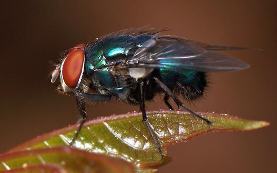 Chrysomya sp. Fly? - Lucilia