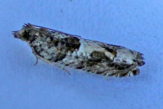 Cotton Tipworm Moth - (Crocidosema plebejana) ? - Crocidosema plebejana