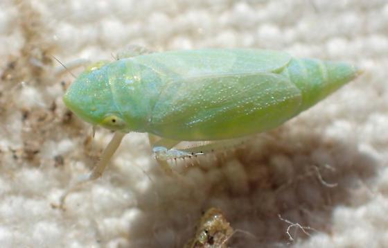 Green leafhopper - Friscanus friscanus