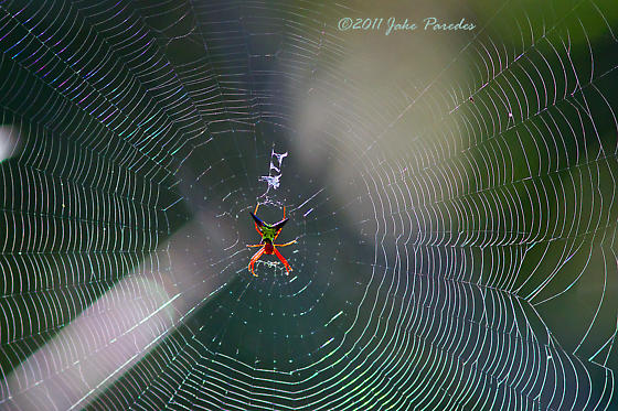 Green and red spider - Micrathena sagittata